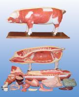 Mô Hình Giải Phẫu Cơ Toàn Thân Của  Lợn